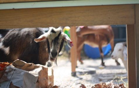 Amazing Graze: Goats Get to Work at PHS